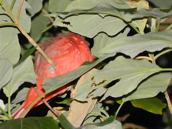 Monteverde, Costa Rica: Summer Tanager tangara veranera