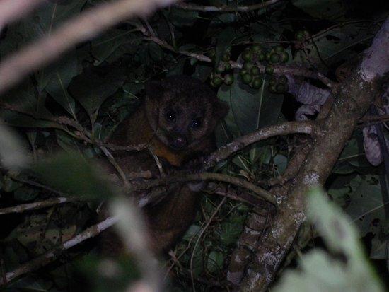 Monteverde, Costa Rica: Kinkajou  Martilla
