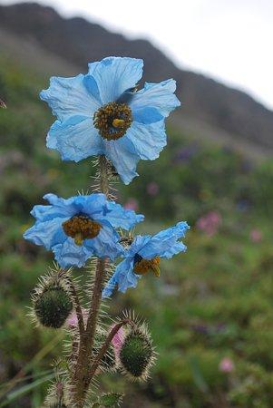 National flower of Bhutan (blue poppy) grows above 3500 masl