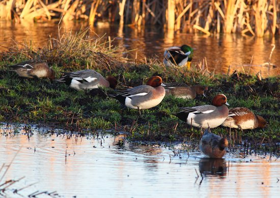 Langport, UK: wigeon