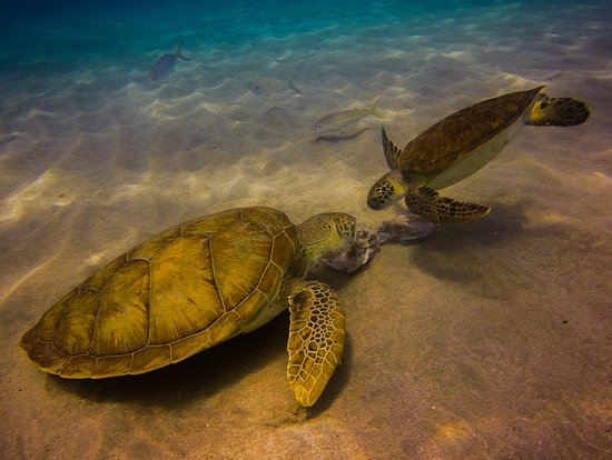Playa Grande, one of the great dive sites on Curacao, where you will be guaranteed to see turtles on every dive.