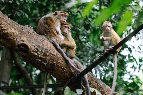Little apes