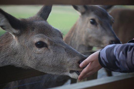 Highland Safaris: Fun, interactive deer feeding session.