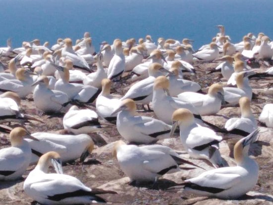 Gannet Beach Adventures - more fun than you ever imagined!: gannets on cliff top