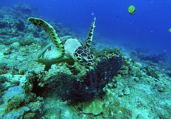 Hawksbill Turtle @ Bunutan Drift Dive
