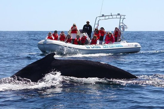 Zodiac Whale-Watching Adventure à Los...