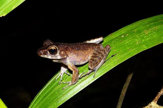 Night Frogs Tour at Kubah National...