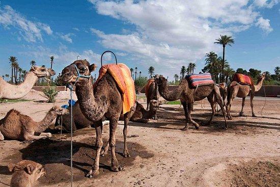 Marrocos camelo passeio no bosque de...