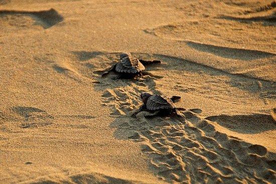 Liberación de crías tortugas marinas...