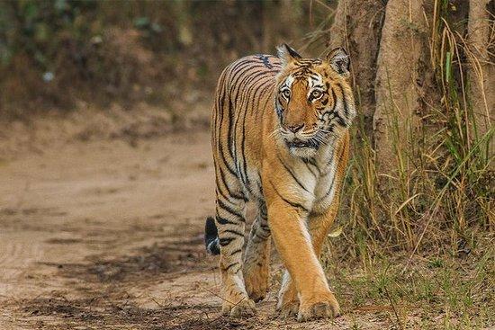 吉姆科比特国家公园的老虎野生动物园