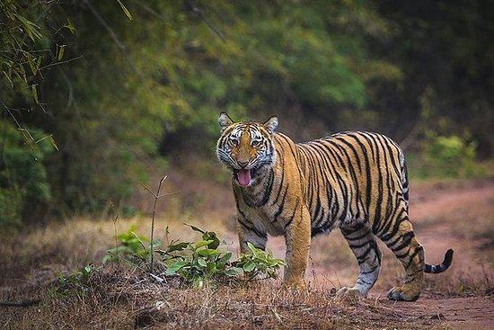 Tiger Safari at Bandhavgarh National...