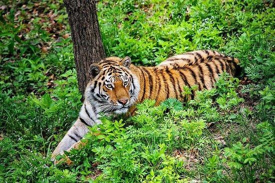 令人驚嘆的野生動物園與西伯利亞阿穆爾虎觀看(6小時)