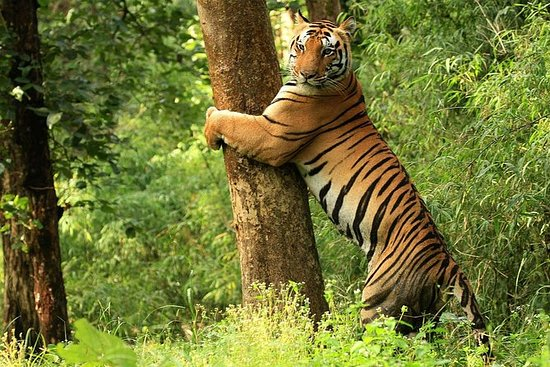 Tiger Safari at Kanha National Park