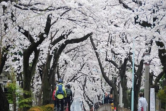 March 30 Cherry Blossoms Cycling Tour...