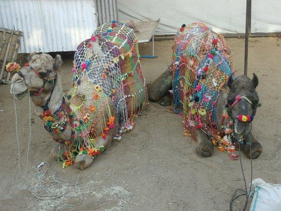 Pushkar Lake: Decorative camels on a smoke break