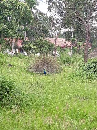 Национальный парк Уда-Валаве, Шри-Ланка: Udawalawa Peacock
