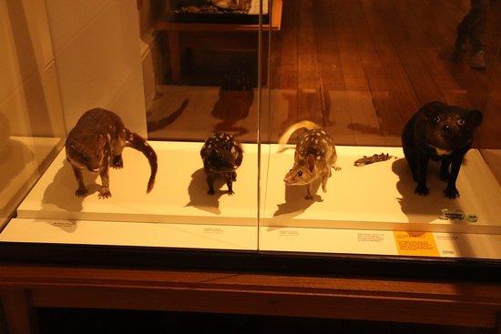 Tasmanian Museum and Art Gallery: More animals of Australia