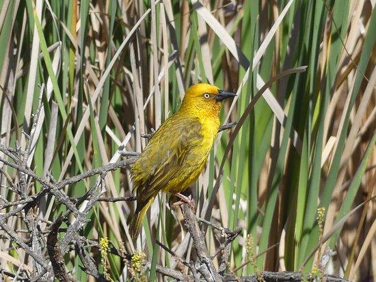 West Coast National Park: Webervogel