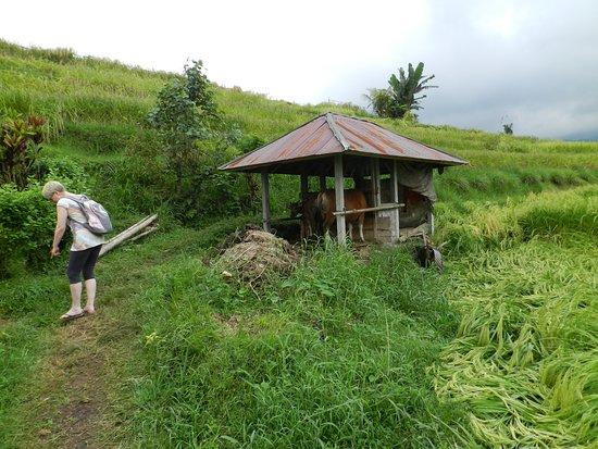 Bali Bali Driver: Jatiluwih Ricefields