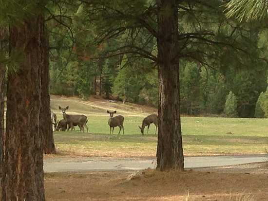 Clio, CA: Deer at the Nakoma Golf Course