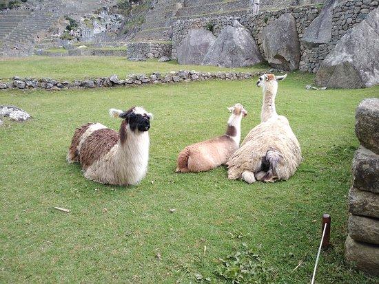 Machu Picchu, Peru: Llamas and alpacas
