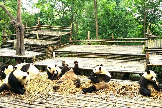 Privat halvdags Chengdu Panda Base...