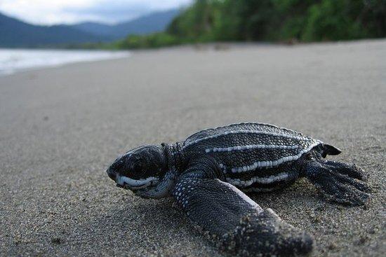 Turtle Watching Abenteuer in Trinidad