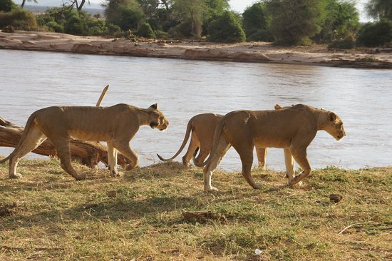 Embakasi, Kenya: Lions in samburu national reserve,one of the best places to visit.