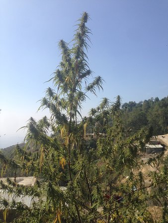 Shivapuri National Park, Nepal: Marijuana plant ready to be harvested in the village of Shivapuri