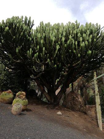 Oasis Park Fuerteventura: Wilczomlecz trójżebrowy - w Polsce spotkałam się z egzemplarzami w doniczce, a tam to najnormalniejsze drzewa