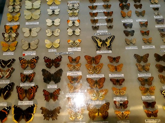 Butterfies in a case