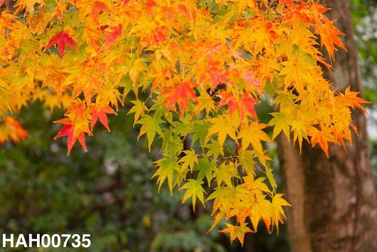 Wara Tenjingu Shrine: 紅葉