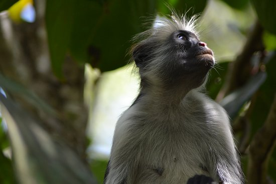 Jozani Forest Reserve Half-Day Guided Tour from Zanzibar: The Colobus Monkey at  the Jozani Forest