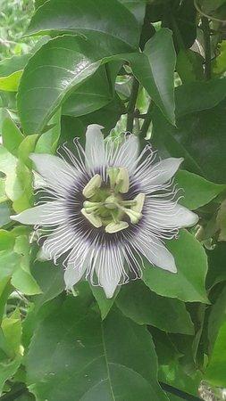 Westelijke Provincie, Sri Lanka: Passionsblüte