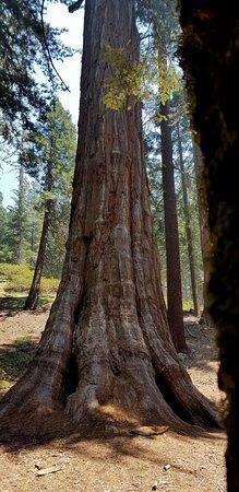 sequoie a perdita d'occhio...