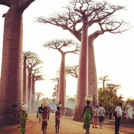 Morondava, Madagascar: Avenue of the Baobabs