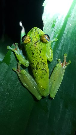 Red-Webbed Treefrog