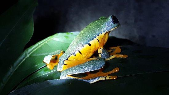 Barred Leaf Frog