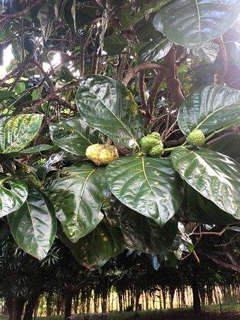 Fruit from the strange and wonderful Noni plant.