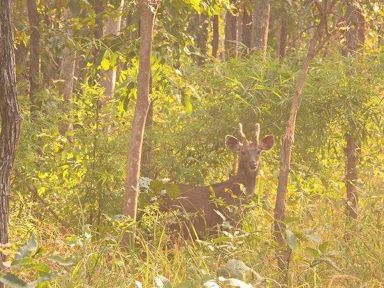 Pench National Park, Индия: Sambar