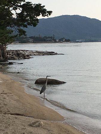 Biwa Lake Otsuka: 朝の散歩で出会った鷺