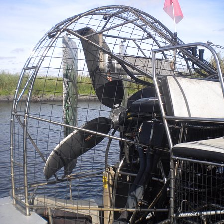 American Bald Eagle - Picture of AirBoat Rides at Midway