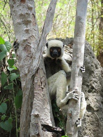 Lemuri nel Parco di Bemaraha