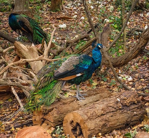 St. Petersburg Jungle Prada Site Tour: Two of the numerous peafowl that call the area home.  Notice the white shells in the background headed up the hill ...