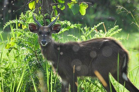 Rubondo Island, Tanzania: young male sitatunga just outside camp