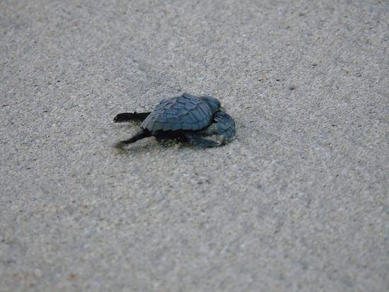 Hotel Riu Vallarta: BABY TURTLES ON THE BEACH AT THE HOTEL