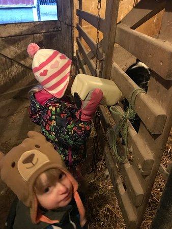 Buggy Lane Tours: Feeding a calf.