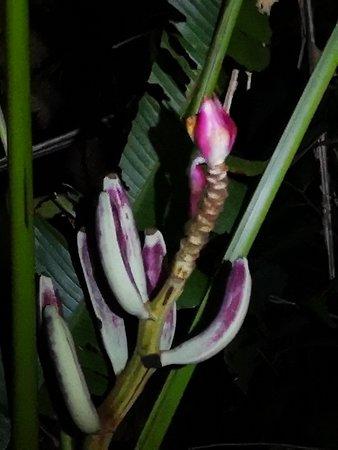 Miri District, Malaysia: Wild bananas in Mulu Park