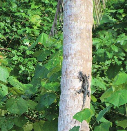 black iguana?
