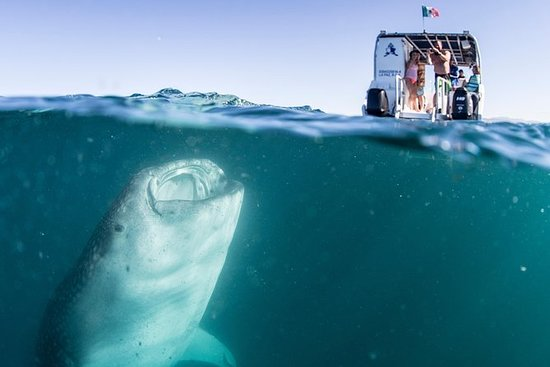 Whale Shark Swim Adventure in La Paz